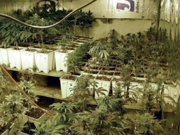 La manucure des graines de marijuana culture indoor for Plantation cannabis interieur sans materiel